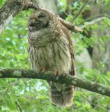 Barred Owl adult with crayfish