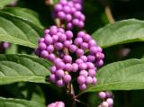 Beautyberry Bush or Callicarpa