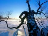 Gnarled Tree on the Frozen Ottawa River