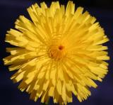 Dandelion  -   Native