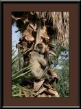 Spider Monkey Type C #2
