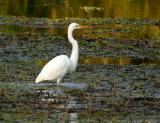 great egret. dusk on the pond