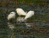 snowy egrets three
