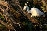 snowy egret. with yellow feet prominent