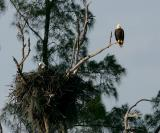 eagles. one guarding the nest