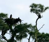 eagle. with fledglings