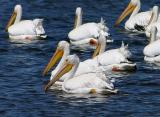 american white pelicans. cropped