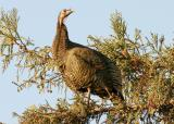 006  Wild turkey in tree_3483`0311130740.JPG