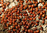 053  Ladybugs (closeup)_6590Ps`0403081353.jpg