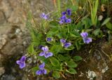 056  Dog Violet group_7109`0403151443.JPG