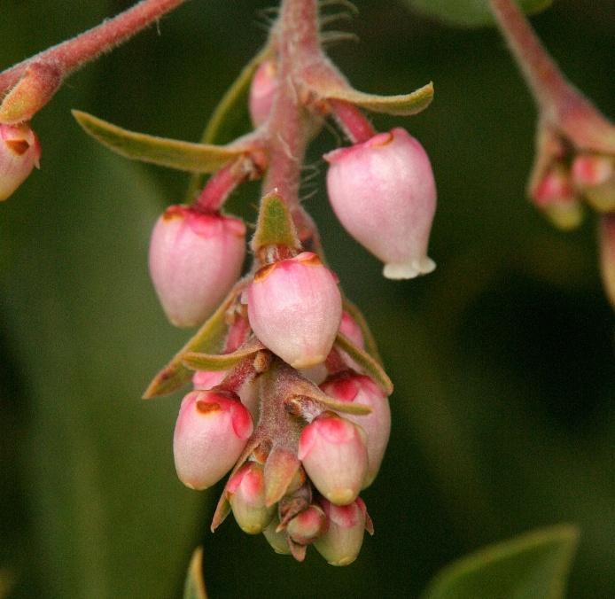 047  Manzanita blossoms_6141Nfp`0402231316.JPG