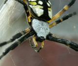 Female, anterior