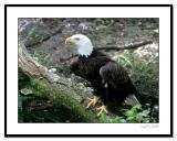 Bald-Eagle-on-Log.jpg