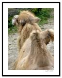 Camel-from-Rear.jpg