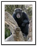 Chimp-on-Log.jpg