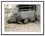 Tired-Rhino.jpg