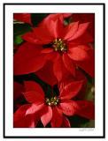 Poinsettias-.jpg