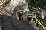79-Racoon-Babies-in-Tree2.jpg