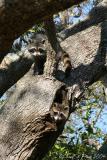 80-Raccoon-Twins.jpg
