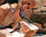 great-tailed grackle male - Flamingo Hotel