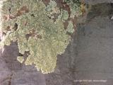 lichen 3
