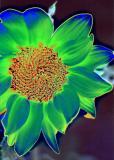 Sunflower plus GM