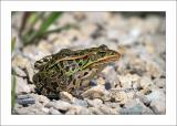 Northern Leopard Frog - 2