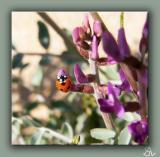 Loco Lady Bug