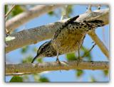 Cactus Wren Another View