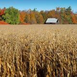 Autumn Corn & Old Barn
