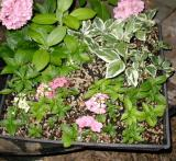 My Hydrangea cuttings that rooted...it is very easy!