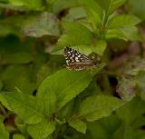 Tropical Checkered Skipper - female