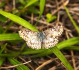 Tropical Checkered Skipper - male