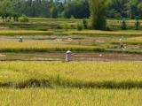 Harvest time in the rice fields