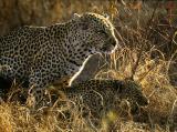 Mating Leopards - Sabi Sand 2002