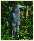 Aigrette bleue (Little Blue Heron)