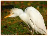 Héron garde-boeuf (Cattle Egret)