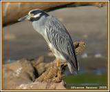 Bihoreau violaçé (Yellow-crowned Night-Heron)