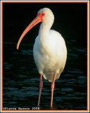 Ibis blanc (White Ibis)