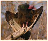Urubu à tête rouge (Turkey Vulture)