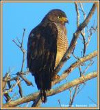 Buse à gros bec (Roadside Hawk)