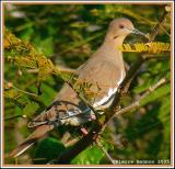 Tourterelle à ailes blanches (White-winged Dove)