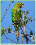 Conure à front rouge (Orange-fronted Parakeet)