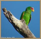 Amazone à front blanc (White-fronted Parrot)