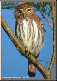 Chevêchette brune (Ferruginous Pygmy-Owl)