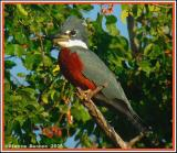Martin-pêcheur à ventre roux (Ringed Kingfisher)