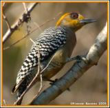 Pic élégant (Golden-cheeked Woodpecker)