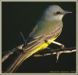 Tyran mélancolique (Tropical Kingbird)