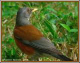Merle à dos roux (Rufous-backed Robin)