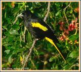 Cassique à ailes jaunes (Yellow-winged Cacique)